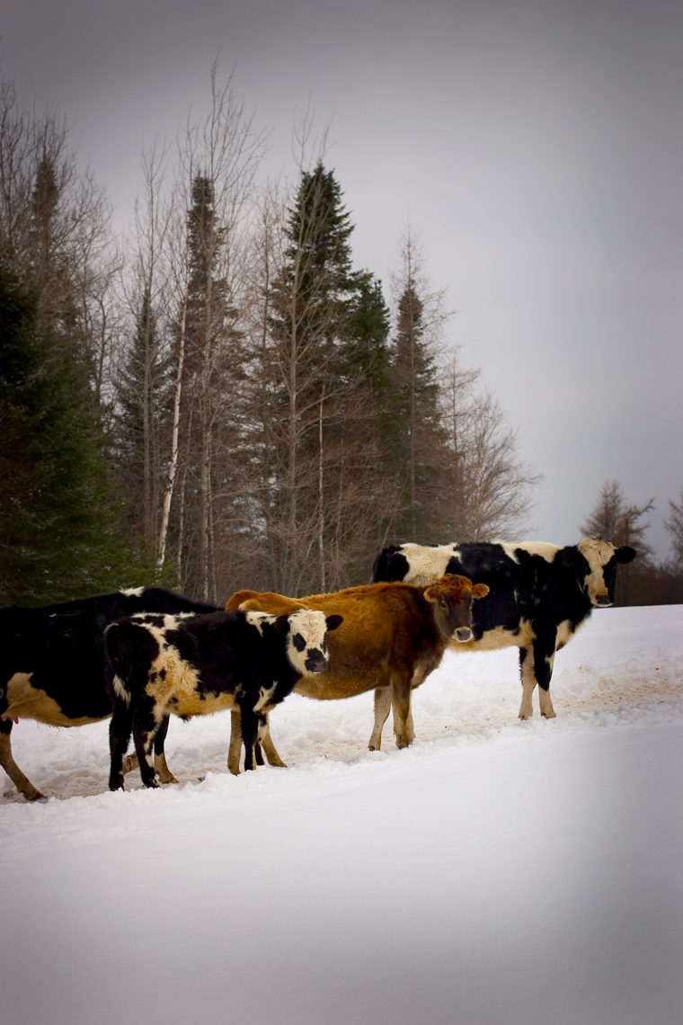 Cow-Line-at-Dairy-Farm_webres